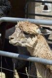 Alpaga peruviana bianca rinchiusa - pacos del Vicugna Immagine Stock