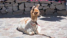 Alpaga peruviana nelle Ande, Perù Fotografia Stock Libera da Diritti
