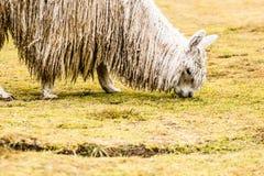 Alpaga peruviana nello sfondo naturale. Fotografia Stock Libera da Diritti
