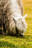Alpaga peruviana nello sfondo naturale. Immagini Stock