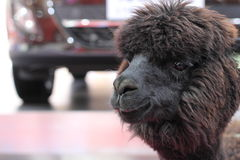 Alpaga peruviana nera - pacos del Vicugna Immagini Stock Libere da Diritti