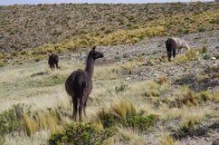 Alpaga in platea delle montagne delle Ande vicino a Arequipa Fotografia Stock Libera da Diritti