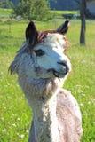 Alpaga, primo piano Fotografie Stock Libere da Diritti