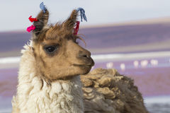 Alpaga przy Kolorado laguną, Salt Lake, Boliwia, Ameryka Południowa fotografia royalty free