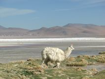 Alpaga przy Laguna Colorada Obrazy Stock