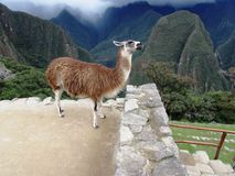 Alpaga przy Mach Picchu Peru Obraz Stock