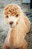 Alpaga rasa che riposa nell'azienda agricola Fotografie Stock