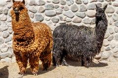 Alpaga rossa e lama nero che stanno insieme, Arequipa Perù Immagine Stock Libera da Diritti