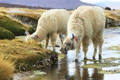 Alpaga in Salar de Uyuni, deserto della Bolivia Fotografie Stock Libere da Diritti