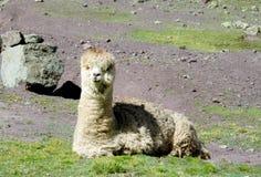 Alpaga simile a pelliccia sveglia Fotografia Stock