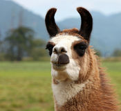 Alpaga sorridente curiosa Fotografie Stock