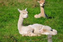 Alpaga su erba verde Fotografia Stock