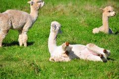 Alpaga su erba verde Immagine Stock Libera da Diritti