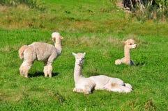 Alpaga su erba verde Immagini Stock