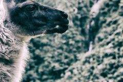 Alpaga su Inca Trail a Machu Picchu peru Il Sudamerica Fotografia Stock Libera da Diritti