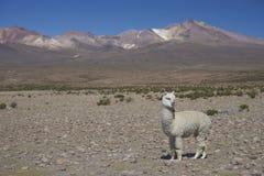 Alpaga sul Altiplano del Cile del Nord Fotografie Stock