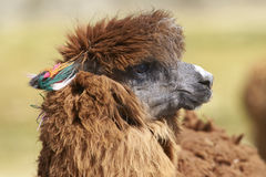 Alpaga sul Altiplano del Cile del Nord Immagini Stock