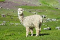 Alpaga sul campo verde nelle Ande Immagini Stock