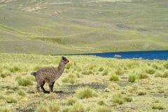 Alpaga sul campo verde vicino al lago Fotografia Stock Libera da Diritti