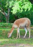 Alpaga sul prato inglese verde sotto un albero Immagine Stock