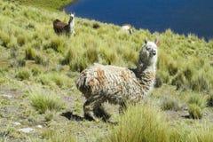Alpaga sul prato verde della montagna Fotografia Stock