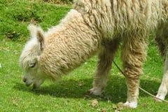 Alpaga sul prato verde della montagna Fotografia Stock Libera da Diritti