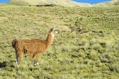 Alpaga sul prato verde della montagna Immagine Stock