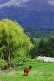 Alpaga sull'azienda agricola Fotografie Stock