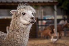 Alpaga sull'azienda agricola Fotografia Stock