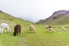 Alpaga sulla montagna dell'arcobaleno con la tempesta sulla parte posteriore Immagine Stock Libera da Diritti