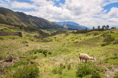 Alpaga sulla montagna verde, Sudamerica Fotografie Stock