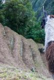 Alpaga sur Inca Trail peru beau chiffre dimensionnel illustration trois du sud de 3d Amérique très Images libres de droits