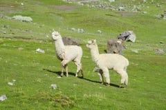 Alpaga sveglia bianca Immagine Stock Libera da Diritti
