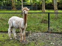 Alpaga sveglia che guarda in camera nello zoo di coccole Immagini Stock Libere da Diritti