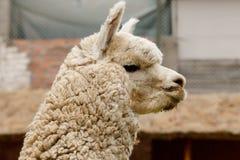 Alpaga sveglia nel Perù Fotografie Stock Libere da Diritti