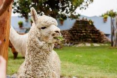 Alpaga sveglia nel Perù Fotografie Stock