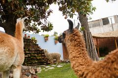 Alpaga sveglia nel Perù Immagine Stock