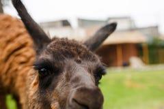 Alpaga sveglia nel Perù Immagine Stock Libera da Diritti