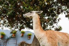 Alpaga sveglia nel Perù Immagini Stock Libere da Diritti