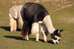 Alpaga (syn di pacos del Vicugna. Pacos della lama) Fotografia Stock Libera da Diritti