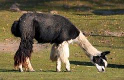 Alpaga (syn di pacos del Vicugna. Pacos della lama) Immagini Stock