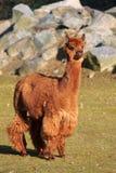 Alpaga (syn di pacos del Vicugna. Pacos della lama) Immagine Stock Libera da Diritti