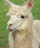 Alpaga in Tailandia Fotografie Stock Libere da Diritti