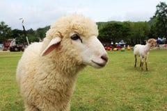 Alpaga in Tailandia Fotografia Stock Libera da Diritti