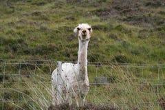 Alpaga tosata in Scozia Fotografia Stock Libera da Diritti