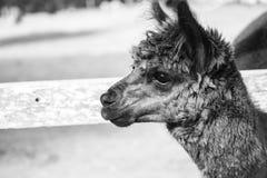 Alpaga in un campo Rebecca 36 Fotografie Stock Libere da Diritti