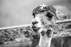 Alpaga in un campo Rebecca 36 Immagine Stock Libera da Diritti
