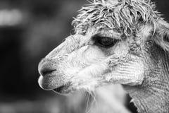 Alpaga in un campo Rebecca 36 Fotografie Stock
