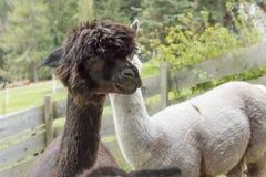 Alpaga in una recinzione Fotografie Stock
