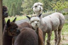 Alpaga in una recinzione Immagine Stock Libera da Diritti